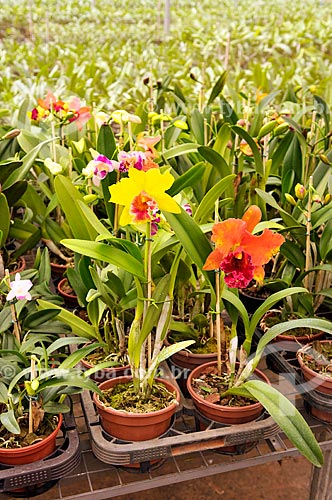 Detalhe de orquídeas Cattleya Amarela  - São José do Rio Preto - São Paulo (SP) - Brasil