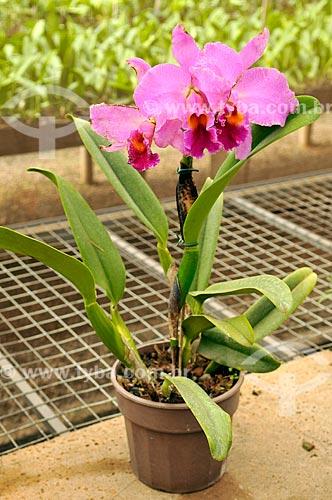 Detalhe de orquídea Cattleya labiata rubra  - São José do Rio Preto - São Paulo (SP) - Brasil