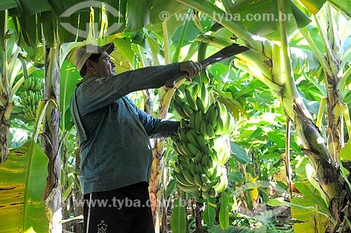 Trabalhador rural colhendo banana nanica  - São Francisco - São Paulo (SP) - Brasil