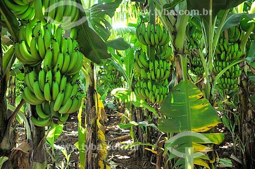 Detalhe de cachos de banana nanica  - São Francisco - São Paulo (SP) - Brasil
