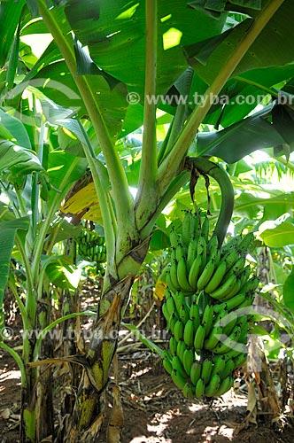 Detalhe de cacho de banana nanica  - São Francisco - São Paulo (SP) - Brasil