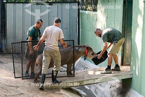 Funcionários transportando antas (Tapirus terrestris) do projeto de reintrodução de antas no Jardim Zoológico do Rio de Janeiro  - Rio de Janeiro - Rio de Janeiro (RJ) - Brasil