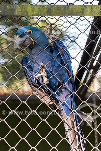 Detalhe de arara-azul-grande (Anodorhynchus hyacinthinus) - também chamada araraúna, arara-preta ou araruna - no Jardim Zoológico do Rio de Janeiro  - Rio de Janeiro - Rio de Janeiro (RJ) - Brasil