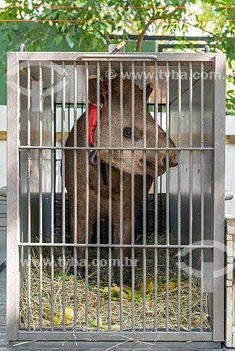 Detalhe de anta (Tapirus terrestris) do projeto de reintrodução de antas no Jardim Zoológico do Rio de Janeiro  - Rio de Janeiro - Rio de Janeiro (RJ) - Brasil