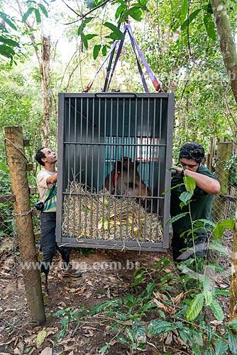 Funcionários transportando antas (Tapirus terrestris) do projeto de reintrodução de antas do Jardim Zoológico do Rio de Janeiro para a Reserva Ecológica de Guapiaçu  - Cachoeiras de Macacu - Rio de Janeiro (RJ) - Brasil