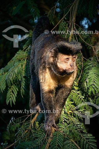 Detalhe de macaco-prego (Sapajus nigritus) próximo ao Mirante da Vista Chinesa  - Rio de Janeiro - Rio de Janeiro (RJ) - Brasil