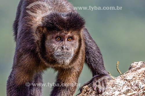 Detalhe de macaco-prego (Sapajus nigritus) no Parque Nacional de Itatiaia  - Itatiaia - Rio de Janeiro (RJ) - Brasil