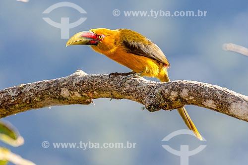 Detalhe de araçari-banana (Pteroglossus bailloni) no Parque Nacional de Itatiaia  - Itatiaia - Rio de Janeiro (RJ) - Brasil
