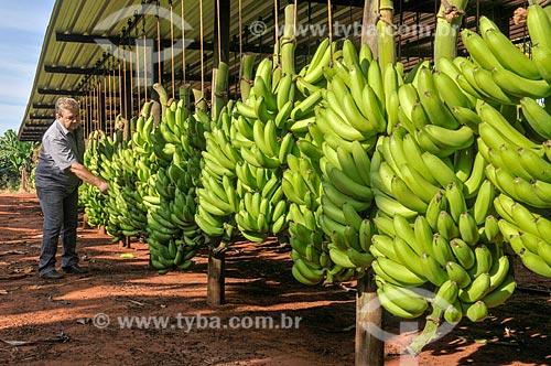 Detalhe de colheita de banana nanica  - São Francisco - São Paulo (SP) - Brasil