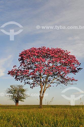 Ipê Rosa (Tabebuia heptaphylla) na rural da cidade de Bálsamo  - Bálsamo - São Paulo (SP) - Brasil