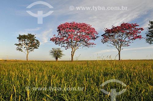 Ipês Rosa (Tabebuia heptaphylla) na rural da cidade de Bálsamo  - Bálsamo - São Paulo (SP) - Brasil