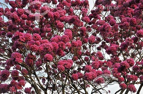 Detalhe de Ipê Rosa (Tabebuia heptaphylla) na rural da cidade de Bálsamo  - Bálsamo - São Paulo (SP) - Brasil