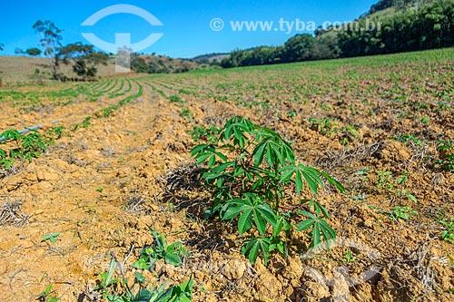 Plantação de mandioca na zona rural da cidade de Guarani  - Guarani - Minas Gerais (MG) - Brasil