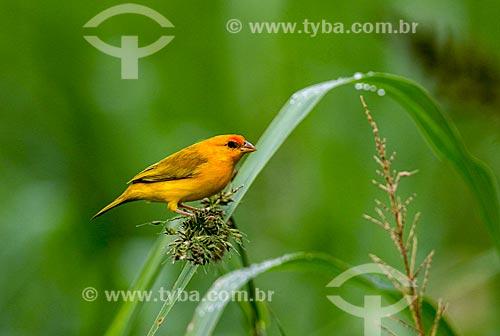 Detalhe de canário-do-amazonas (Sicalis columbiana) próximo à Lagoa do Janauari  - Iranduba - Amazonas (AM) - Brasil