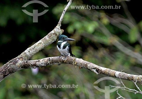 Detalhe de martim-pescador-verde (Chloroceryle amazona) fêmea próximo à Lagoa do Janauari  - Iranduba - Amazonas (AM) - Brasil