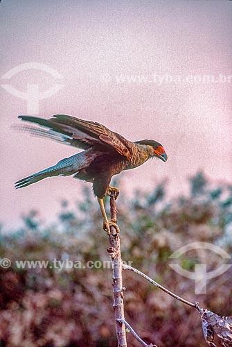 Detalhe de carcará (Polyborus plancus) no Pantanal - década de 90  - Mato Grosso (MT) - Brasil