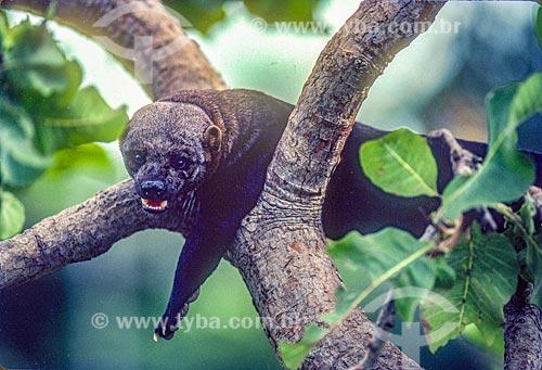 Detalhe de lontra-neotropical (Lontra longicaudis) no Pantanal - década de 90  - Mato Grosso (MT) - Brasil