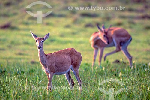 Detalhe de veado-campeiro (Ozotoceros bezoarticus) - também chamado veado-branco ou veado-galheiro - no Pantanal - década de 90  - Mato Grosso (MT) - Brasil
