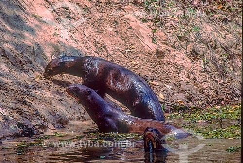 Detalhe de bando de ariranha (Pteronura brasiliensis) no Pantanal - década de 90  - Mato Grosso (MT) - Brasil