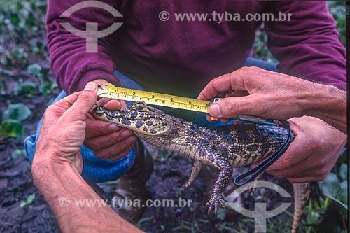 Biólogo medindo jacaré-do-pantanal (caiman crocodilus yacare) - também conhecido como Jacaré-do-paraguai - Pantanal - década de 90  - Mato Grosso (MT) - Brasil