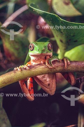 Detalhe de perereca (Phyllomedusa hypochondriallis) no Pantanal - década de 90  - Mato Grosso (MT) - Brasil