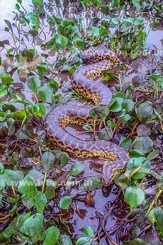 Detalhe de sucuri (Eunectes murinus) no Pantanal - década de 90  - Mato Grosso (MT) - Brasil
