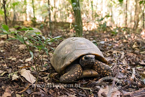 Reintrodução de jabuti-tinga (Chelonoidis denticulata) no Parque Nacional da Tijuca  - Rio de Janeiro - Rio de Janeiro (RJ) - Brasil