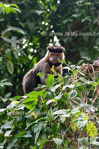 Detalhe de macaco-prego (Sapajus nigritus) no Parque Henrique Lage - mais conhecido como Parque Lage  - Rio de Janeiro - Rio de Janeiro (RJ) - Brasil