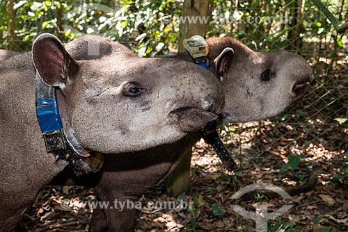 Detalhe de casal de antas (Tapirus terrestris) com colar GPS para monitoramento animal na Reserva Ecológica de Guapiaçu  - Cachoeiras de Macacu - Rio de Janeiro (RJ) - Brasil