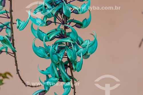 Planta jade em pico de florada em jardim de Guarani, Minas Gerais  - Guarani - Minas Gerais (MG) - Brasil