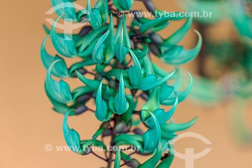 Detalhe de trepadeira Jade (Strongylodon macrobotrys) em pico de florada - jardim de residência na zona rural da cidade de Guarani  - Guarani - Minas Gerais (MG) - Brasil