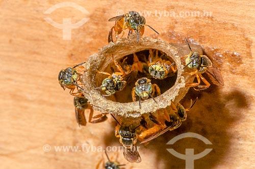Detalhe de abelhas jataí (Tetragonisca angustula) - sem ferrão  - Paraná (PR) - Brasil