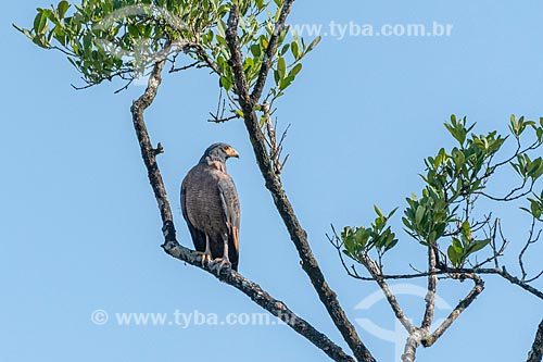 Detalhe de gavião-caramujeiro (Rostrhamus sociabilis) no Parque Estadual da Serra da Baitaca  - Quatro Barras - Paraná (PR) - Brasil