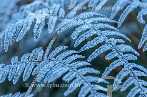 Detalhe de vegetação congelada no Parque Estadual da Serra da Baitaca  - Quatro Barras - Paraná (PR) - Brasil