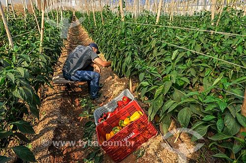 Trabalhador rural colhendo pimentão em estufa  - Mirassol - São Paulo (SP) - Brasil