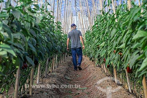 Trabalhador rural - plantação de pimentão em estufa  - Mirassol - São Paulo (SP) - Brasil