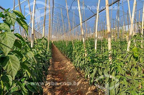 Plantação de pimentão em estufa  - Mirassol - São Paulo (SP) - Brasil