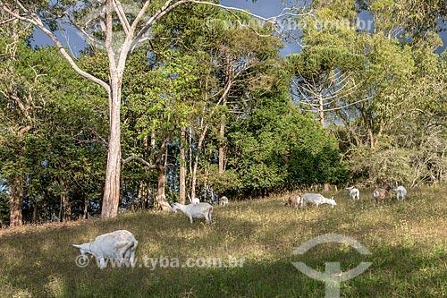 Criação de ovelha no pasto  - Cunha - São Paulo (SP) - Brasil