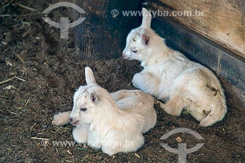 Detalhe de cordeiros em criação de ovelha  - Cunha - São Paulo (SP) - Brasil