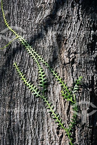 Detalhe do cacto-sianinha (Selenicereus anthonyanus)  - São Luís do Paraitinga - São Paulo (SP) - Brasil