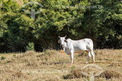 Gado nelore no pasto na zona rural da cidade de Guarani  - Guarani - Minas Gerais (MG) - Brasil