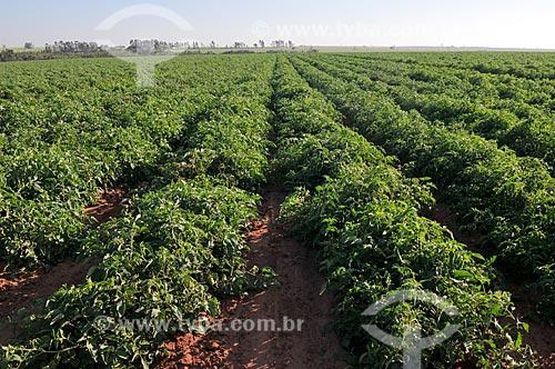 Plantação de tomate irrigada com sistema de gotejamento  - José Bonifácio - São Paulo (SP) - Brasil