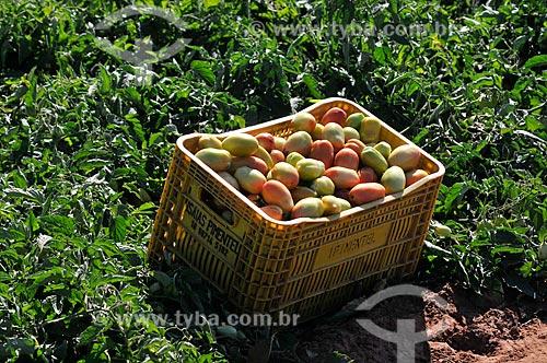 Detalhe de engradado de tomate durante a colheita  - José Bonifácio - São Paulo (SP) - Brasil