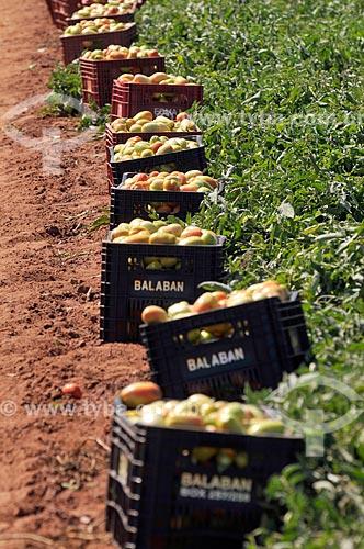 Detalhe de engradados de tomate durante a colheita  - José Bonifácio - São Paulo (SP) - Brasil