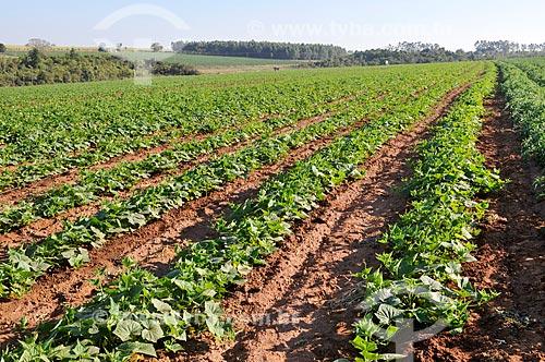 Plantação de pepino  - José Bonifácio - São Paulo (SP) - Brasil