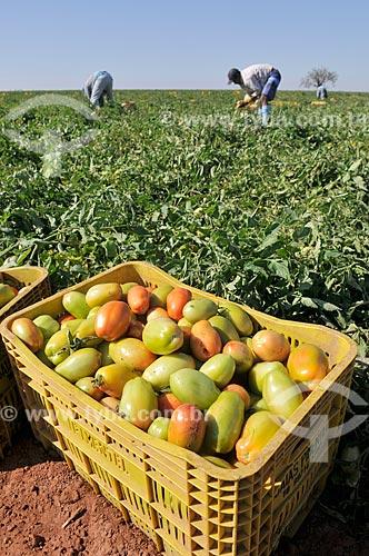 Engradado de tomate durante colheita de tomate  - José Bonifácio - São Paulo (SP) - Brasil