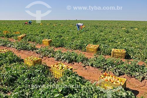 Colheita manual de tomate  - José Bonifácio - São Paulo (SP) - Brasil