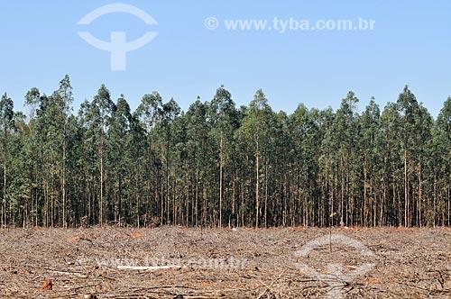 Plantação de eucaliptos  - José Bonifácio - São Paulo (SP) - Brasil