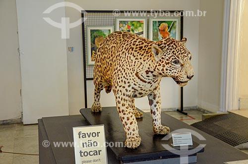 Onça pintada (Panthera onca) empalhada em exibição no Museu Nacional - antigo Paço de São Cristóvão  - Rio de Janeiro - Rio de Janeiro (RJ) - Brasil