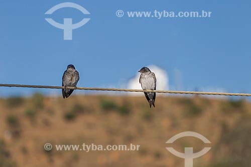 Detalhe de andorinhas-domésticas-grande (progne chalybea) pousadas sobre fios com a Capela de Santa Rita - também conhecida como Capelinha - ao fundo  - Guarani - Minas Gerais (MG) - Brasil
